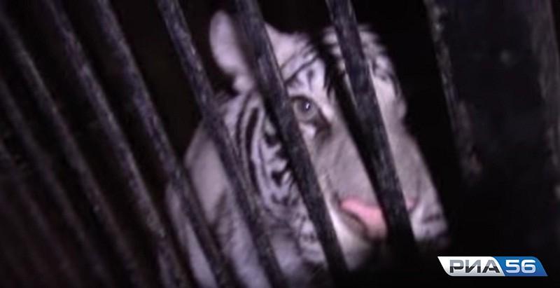 Попавшие вДТП под Оренбургом цирковые тигры добрались доУфы