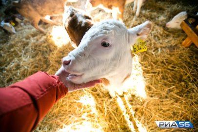 Животноводческие предприятия Оренбуржья наградили на выставке «Золотая осень-2020»