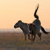 В заповеднике «Оренбургский»  выпустили в степь третью группу лошадей Пржевальского