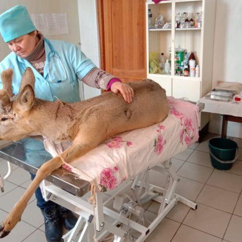 Жители Ясного спасли косулю, убежавшую от браконьеров