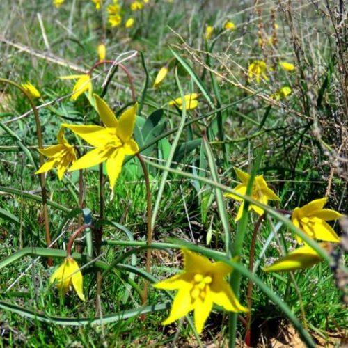 Первый цвет: в Предуральской степи распустились скифские тюльпаны