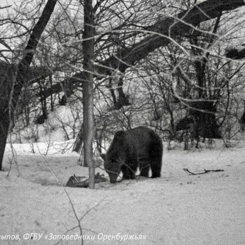 В оренбургском заповеднике «Шайтан-Тау» из спячки вышли бурые медведи