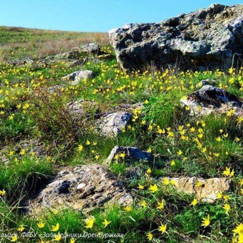 В оренбургской степи расцвели первые скифские тюльпаны