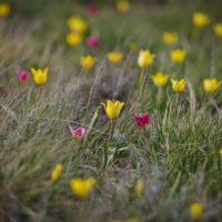 Фоторепортаж RIA56: в оренбургской степи цветут краснокнижные тюльпаны Шренка