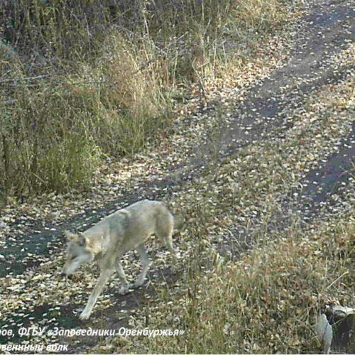 Заповедные истории Оренбуржья: Как волки притворились камнями