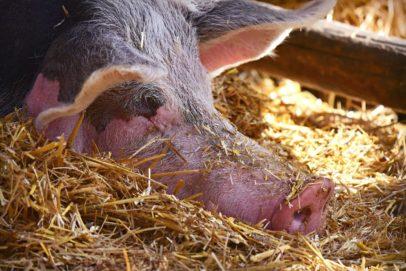 Беларусь ограничила ввоз продукции из Оренбуржья из-за африканской чумы свиней