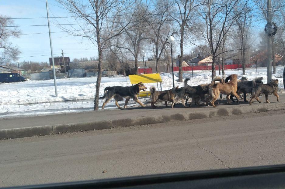 Свора собак бегает по улицам поселка Нежинка-2 Оренбургского района