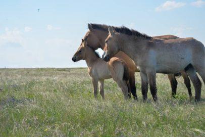 В оренбургском заповеднике родились пять жеребят Пржевальского