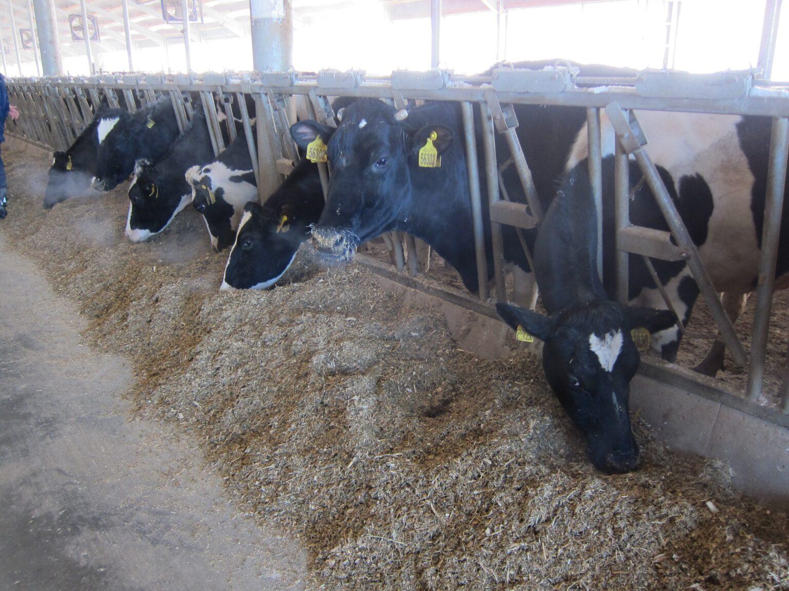 Северный район увеличивает производство молока